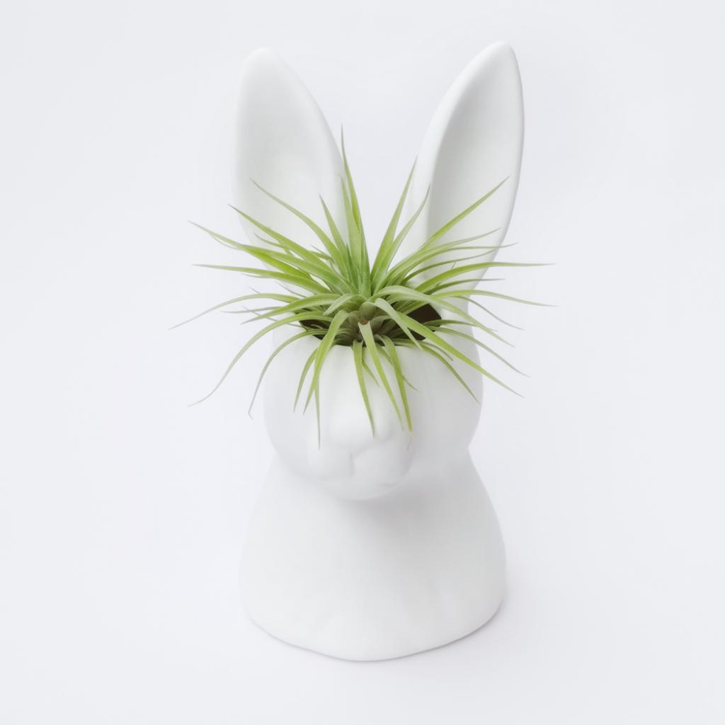 Conejo + Plagiotropica Matera_1