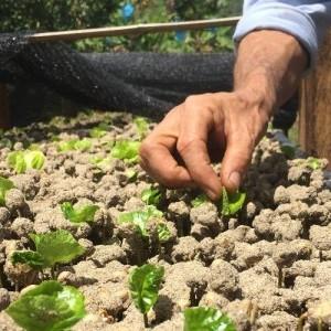 Conoce el proceso de selección de semilla y germinación del café